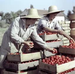 Mezőgazdaság - Heterózis paradicsom feldolgozás