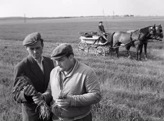 Mezőgazdaság - Növénytermesztés - Jól fejlődik a szovjet búza