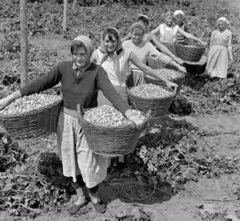 Mezőgazdaság - Szedik a komlót a Bólyi Állami Gazdaságban