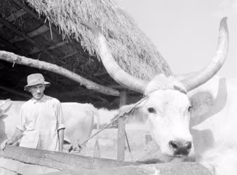 Mezőgazdaság - Állattenyésztés - Borjú és gondozója