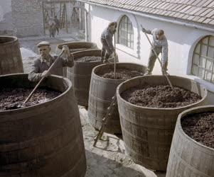 Mezőgazdaság - Szüretelnek a Bács-megyei állami gazdaságokban