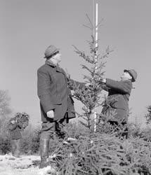 Mezőgazdaság - Vágják a karácsonyi fenyőfákat