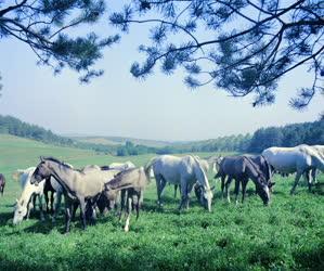 Mezőgazdaság - A lipicai ménes Szilvásváradon