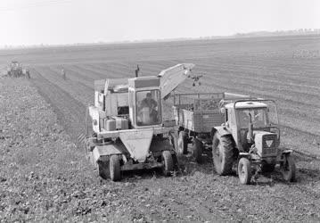 Mezőgzadaság - Cukorrépa betakarítás Szolnok határában