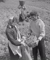 Mezőgazdaság - Kereskedelem - Szállítják a máriagyűdi zöldborsót