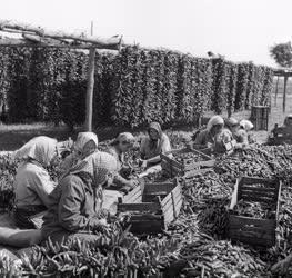 Mezőgazdaság - Fűszerpaprika feldolgozás