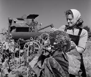 Mezőgazdaság - Vágják a napraforgót