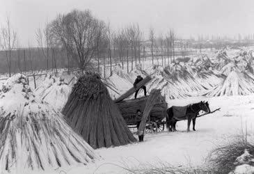 Mezőgazdaság - Kazalba rakják a nádat Alsóörsön