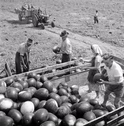 Mezőgazdaság - Megkezdték a dinnyeszedést Tiszakécskén