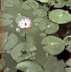 Növényvilág - Tavirózsa