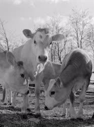 Mezőgazdaság - Állattenyésztés - Jersey-magyar tarka borjak