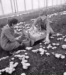 Mezőgazdaság - Kecskeméti kísérleti állomás gombatelepe