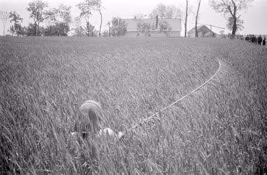 Mezőgazdaság - A rozs pótbeporzása
