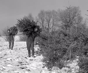 Erdőgazdálkodás - Vágják a fenyőfákat