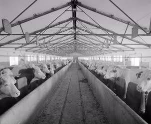 Mezőgazdaság - Az Ecsegi Béke Tsz marhaistállója
