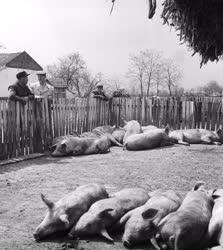 Mezőgazdaság - Az árpádhalomi Lenin Tsz