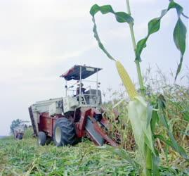 Mezőgazdaság - Törik a csemegekukoricát