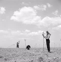 Mezőgazdaság - Gerő Termelőszövetkezet szilvása