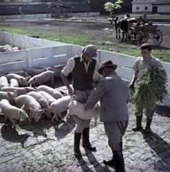 Mezőgazdaság - Mezőhegyesi Állami Gazdaság
