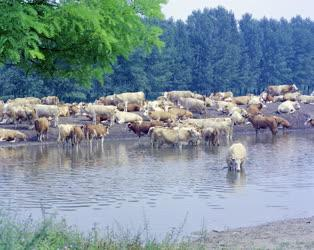 Mezőgazdaság - Tehenek Kőszárhegy határában