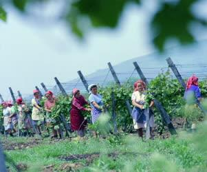 Mezőgazdaság - Szőlőművelés - Kötözik a szőlőt a Visontai Mgtsz.-ben