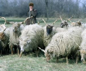 Mezőgazdaság - Racka juhok pásztorukkal