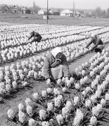 Mezőgazdaság - Rákoscsabai szövetkezet virágoskertje