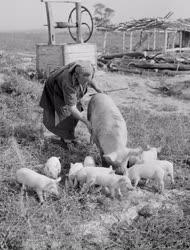 Mezőgazdaság - A litkei Kossuth Tsz