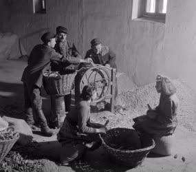 Mezőgazdaság - Kukoricamorzsolás a rábacsanaki téesz