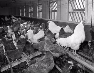 Mezőgazdaság - Hibrid tojásüzem a Kutasi Állami Gazdaságban