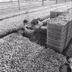 Mezőgazdaság - A szentesi Árpád Zöldségtermelő Szövetkezet