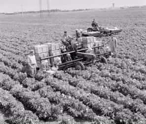 Mezőgazdaság - Géppel szüretelik a paprikát