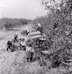 Mezőgazdaság - Növénytermesztés - Szedik a téli almát az Izsáki Állami Gazdaságban